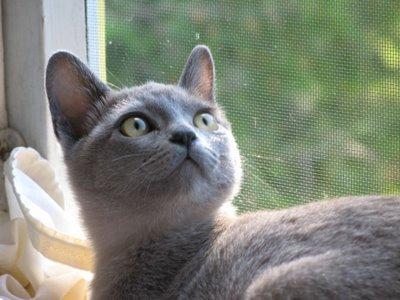 Alaska...Burmese Kitten Extrordinaire!