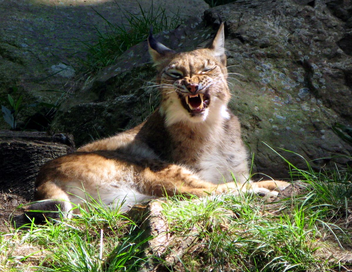 lynx-growling-wild-cat-zoo-734972.jpg
