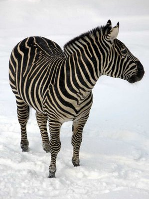 A zebra standing in the snow at the Granby Zoo.