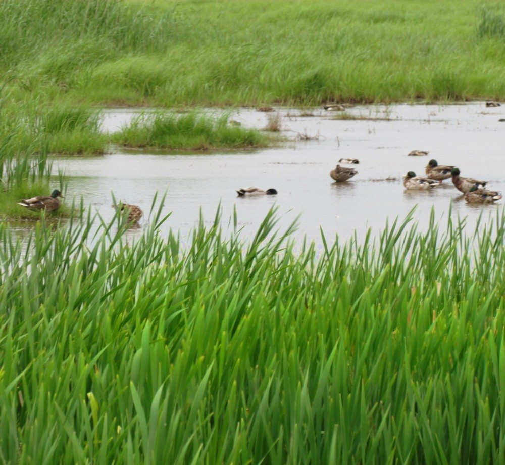 Ducks on the Peticodiac Marsh in Riverview, New Brunswick