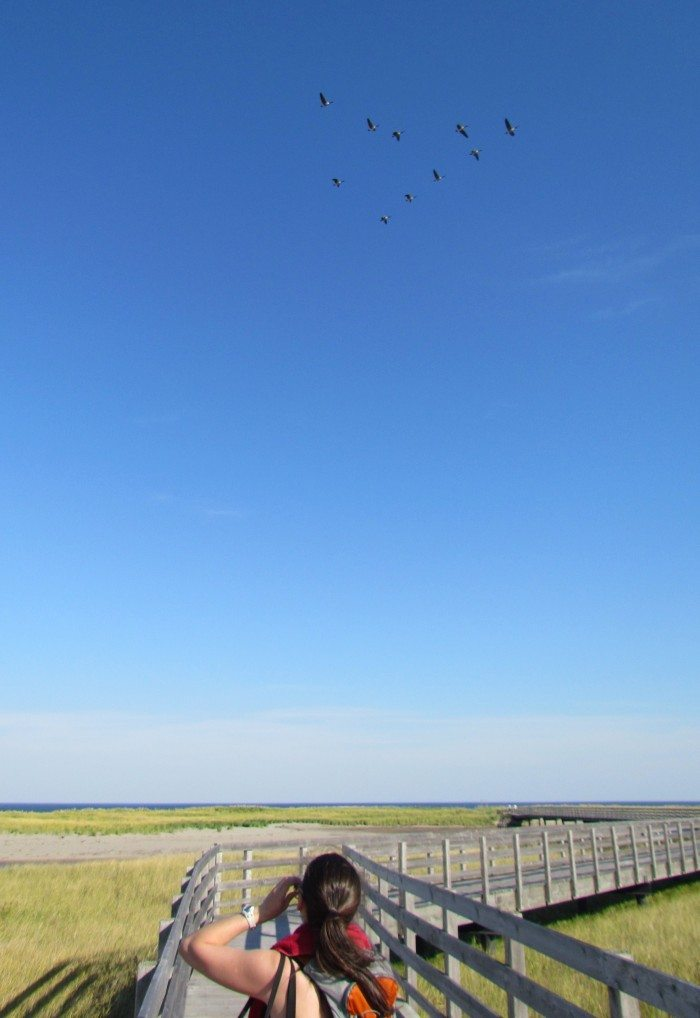 Canadian Geese Migration Formations over Kouchibouguac Park