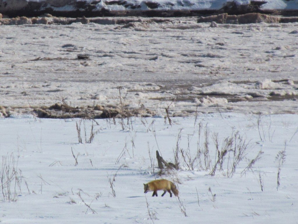 Fox along the Peticodiac River in New Brunswick