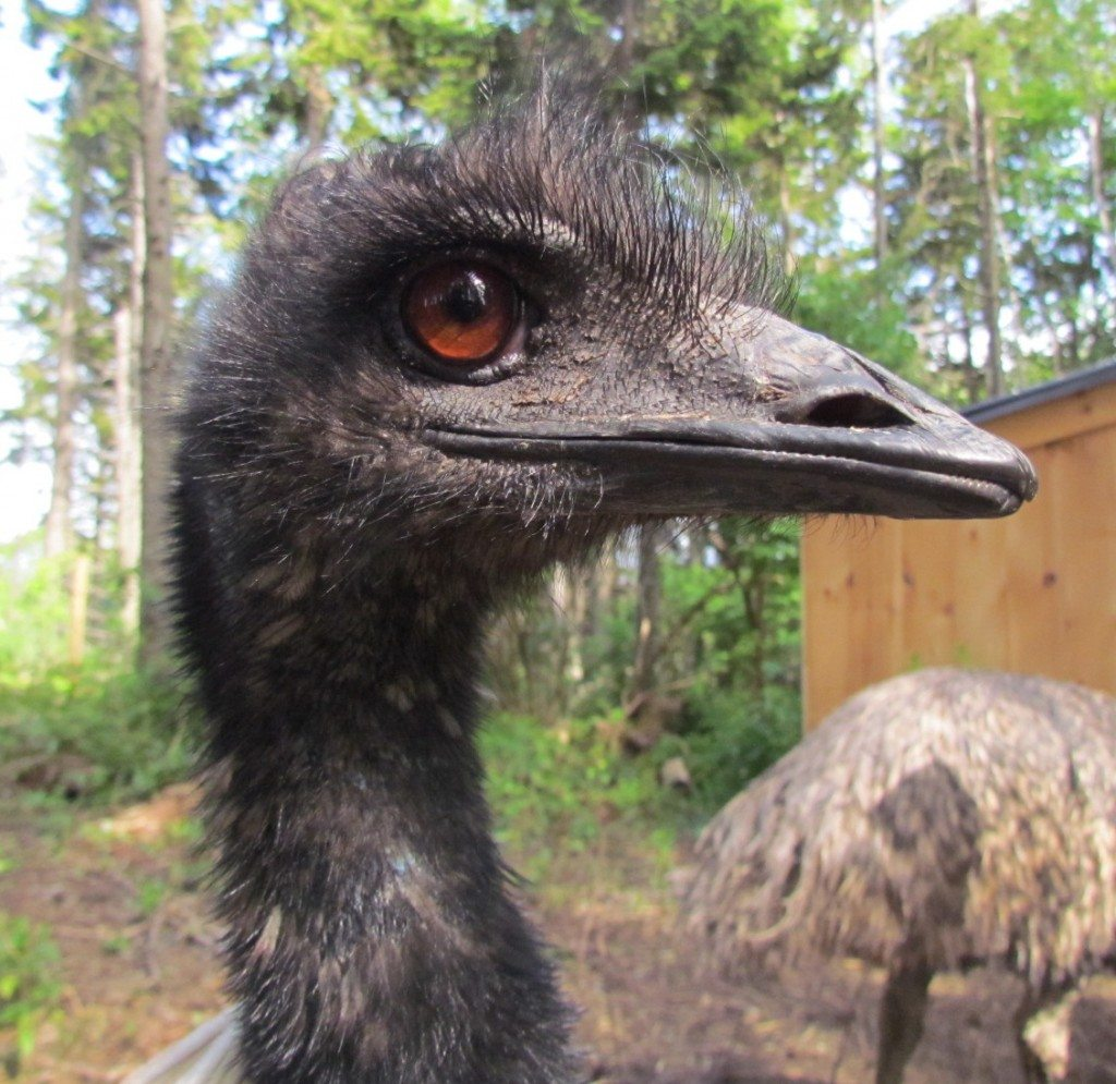 A Happy Emu!