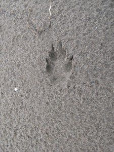 Fox Print in The Sand