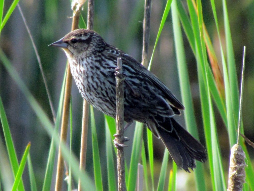 Songbird at the Maccan Tidal Wetland Park