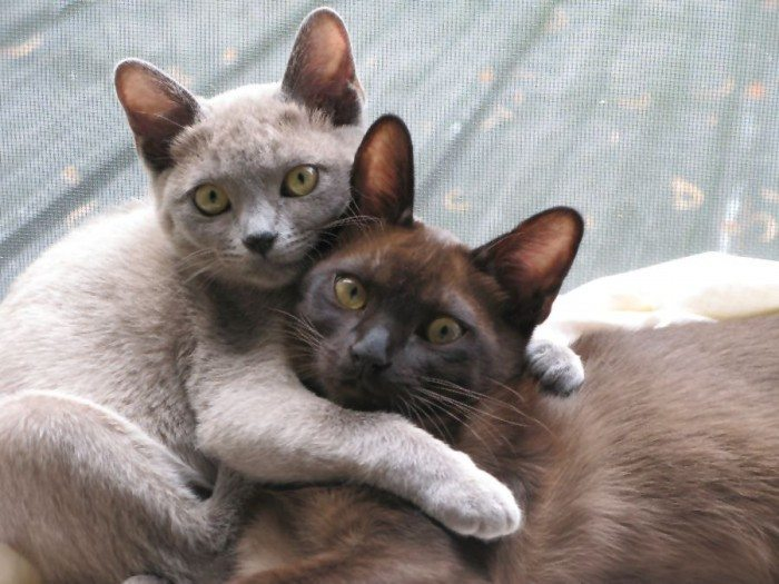 Cute Burmese Kittens