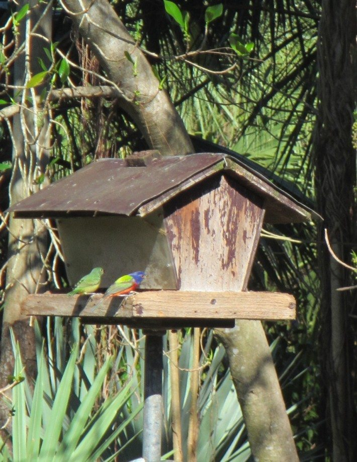 A couple of Painted Buntings