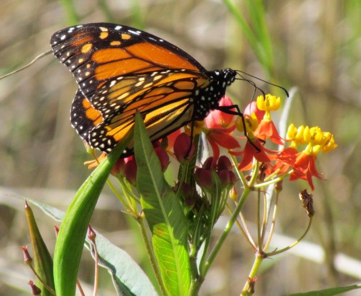 A monarch butterfly in the garden. I think this is a little happy butterfly from inside the dreams of the horses.