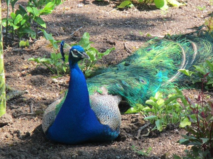 A peacock warming up in the sun at Beacon Hill Park.
