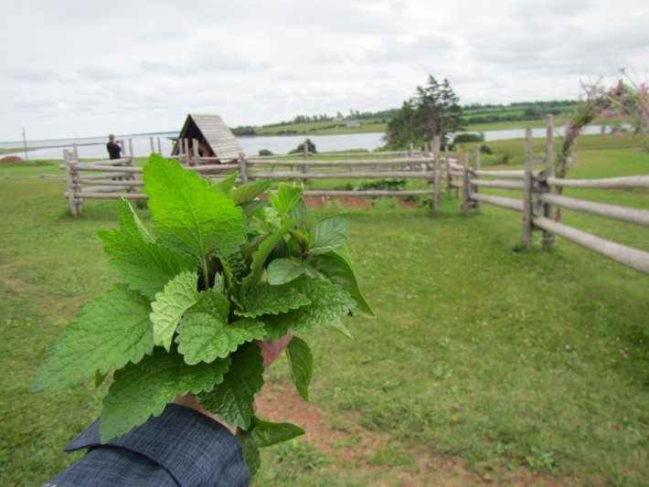 A fresh Acadian herb garden bouquet: Mint, basil and lemon balm at the Farmer's Bank and Doucet House in North Rustico.