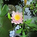 Water lilly and forget me not
