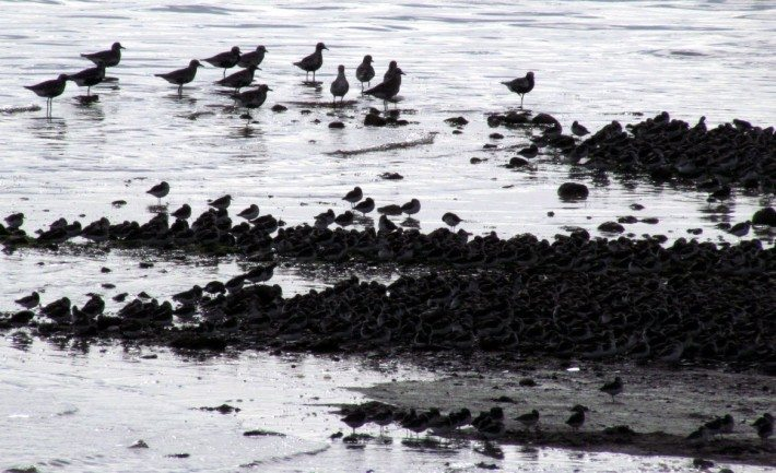 Pipers Gather on the Mud Flats for a snack as they prepare for their 4500 km migration South. Johnson's Mills in New Brunswick is one spot protected by the Nature Conservancy of Canada so these delicate migrators can live in peace.