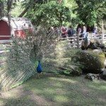 Peacock at Beacon Hill Petting Zoo