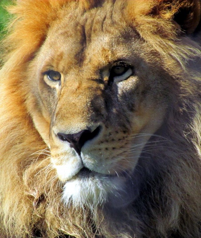 The African Lion. What more can you say about such a majestic beast. It is simply awe inspiring to see the King of The Beasts sitting in the sun looking into the unknown horizons. They live from 25 to 30 years.