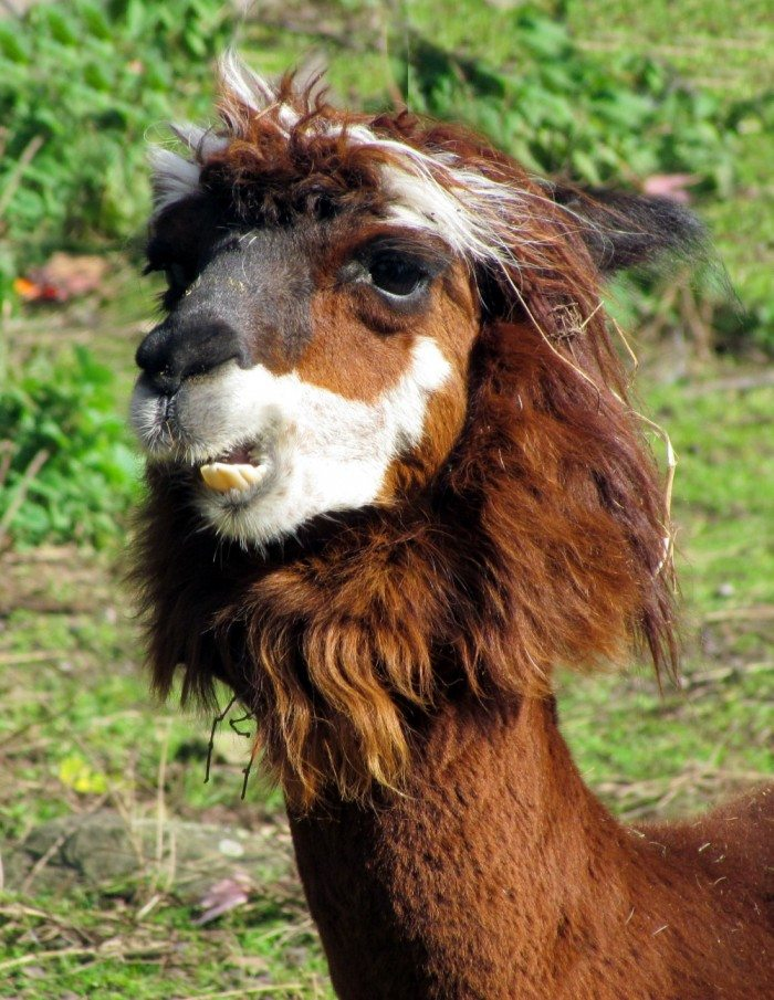 The Alpaca. Such handsome animals with what seems to be a gentle and kind temperament. Their big eyes and lovely coats make them so adorable. They were simply tickled to have such a lovely sunny day to strut their stuff in the fields of the zoo. Alpacas are the smallest member of the domesticated camelid family that includes camels and lamas. They were first domesticated over 5,000 years ago, and became a cherished treasure of the ancient Incan civilization. Their fine cashmere like fleece was reserved solely for royalty. These amazing animals provided the food, fuel, and clothing for a civilization that thrived in an otherwise hostile environment. Alpacas produce one of the world's finest and most luxurious fibers, known for its fineness, light weight, and insulating quality, which is eight times that of wool!. They live from 15 to 20 years.