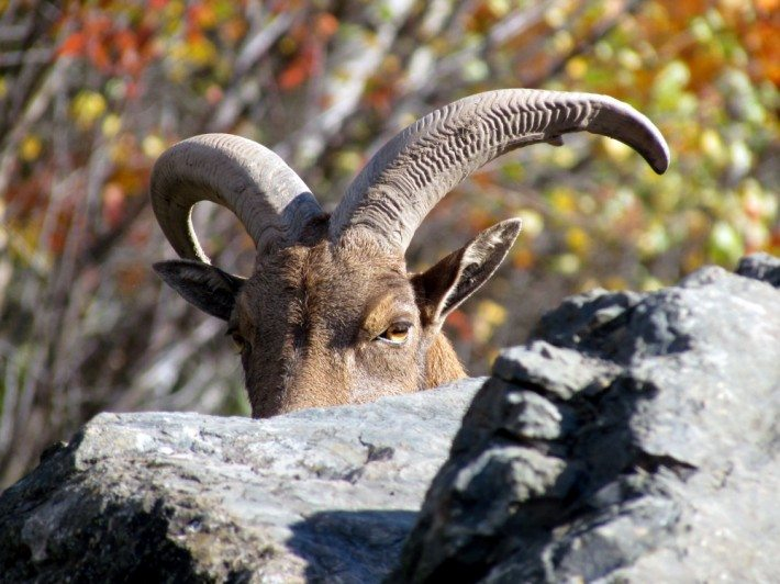 "The Barbary Sheep. A group of sheep climbed on the rocky pile in their large meadow, they liked to climb their ""mountain"" and perch on the craggy rocks with the sun warming the rocks. Barbary sheep, also called aoudads, originated in the hills of the Sahara and have inhabited all the major mountains of North Africa. In the late 1800s, Barbary sheep were introduced into Europe, including Germany and Italy. Around 1900, the first Barbary sheep was transferred to the United States to be placed in zoos. Surplus zoo stock was sold to private parties who eventually released some to the wild in New Mexico in 1950 and in Texas in 1957. This allowed a wild population to develop in the southwestern United States. They live up to 15 years."