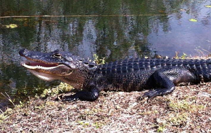 Saw a snoozing alligaot in Everglades Park sun bathing.
