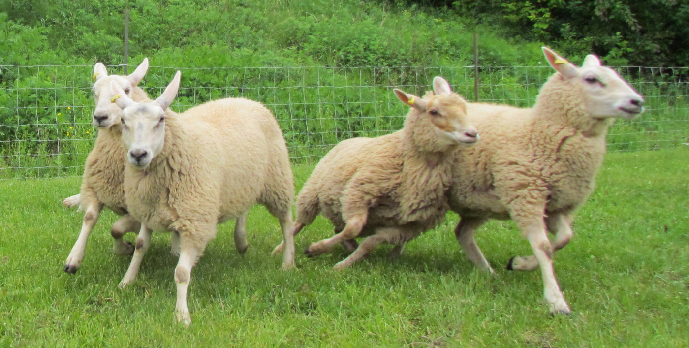 running sheep � travels trips amp tails