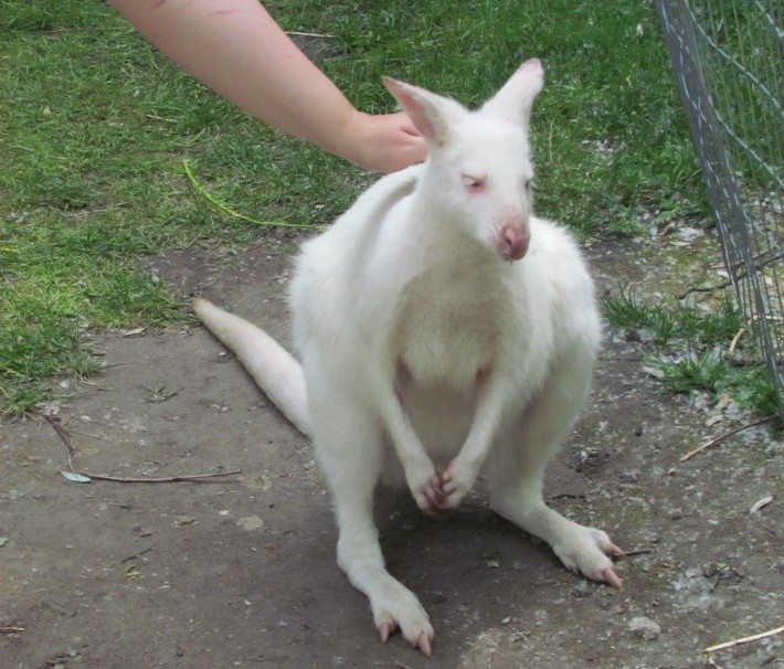 This all white kangaroo had lovely eye lashes and cute little pink eyes!