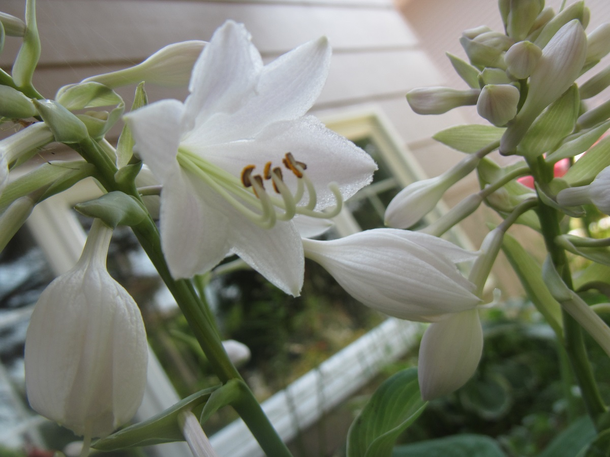 Hosta White Flower Travels Trips Tails