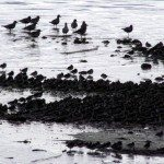 The Sandpipers At The Johnson's Mills Mudflats