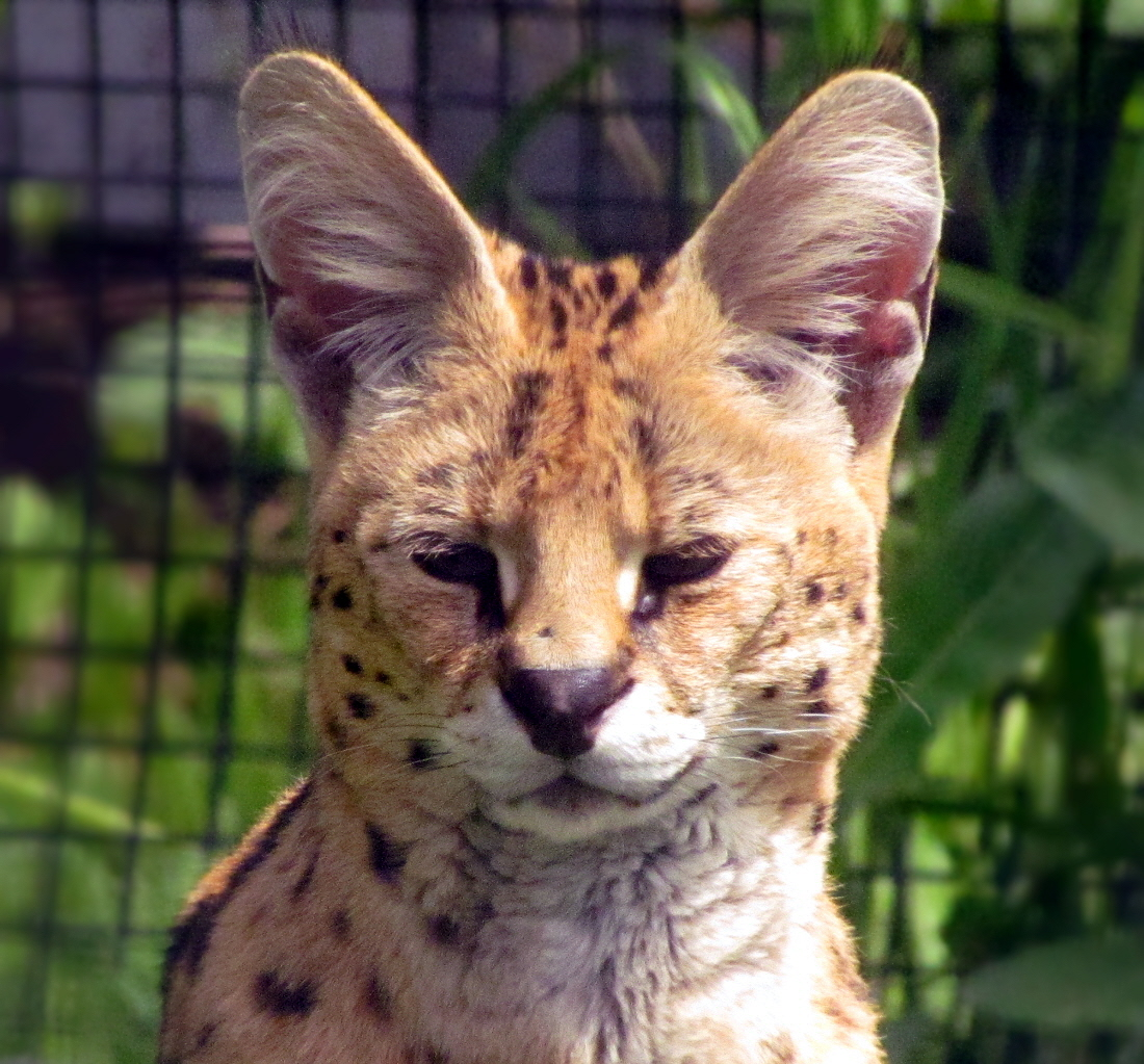 One of the beautiful Servals at the Magnetic Hill Zoo. The two gorgeous cats arrived at the zoo this week and it was a treat to see them!