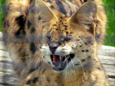 This Serval didn't appreciate being mistaken for a cheetah and let everyone know it!