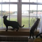 The cats at the Best Western Hotel in Fredericton, New Brunswick
